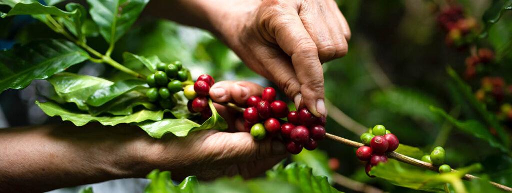 plantaža kave